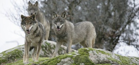 Wolf in Croatian family names